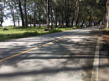 Road in pine forest near the beach. Nai yang beach in phuket Thailand Stock Image