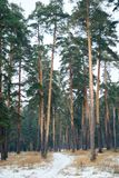 Road in the pine forest. 1 Royalty Free Stock Image