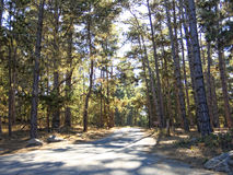 Road through pine forest Stock Photos