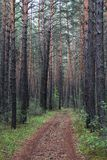 Road in a pine forest. In the south of Siberia Stock Photos