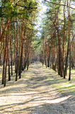 Road in pine forest Royalty Free Stock Photo