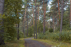 The road is in a pine forest Royalty Free Stock Photo