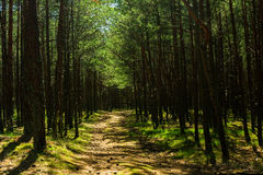 Road in the pine forest on summer day Royalty Free Stock Photography