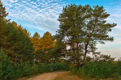 Road through a pine forest . Summer evening royalty free stock image