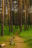 Road into pine forest Royalty Free Stock Photography