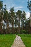 Road into pine forest with tall tree Stock Image