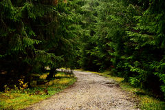 Road in a pine forest Royalty Free Stock Image