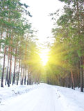 Road in the pine forest in winter. Sunny day royalty free stock photo