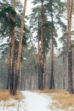 Winter road through a pine forest with tall trees Stock Images