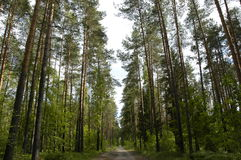 Road in pine grove. In summer day Royalty Free Stock Image