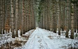 Road through Pine Trees Royalty Free Stock Images
