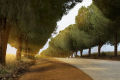 Road and pine trees Royalty Free Stock Photos
