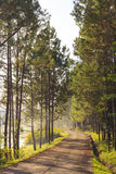 Road in Pine trees forest Stock Photography