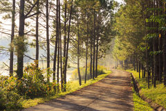 Road in Pine trees forest Stock Images