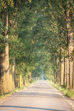 Road between poplars Stock Images