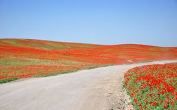 Road through poppy field Stock Images