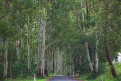 The road through the rainforest. Towering gums surround the narrow road through main range national park Royalty Free Stock Images