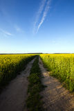 The road in a rape. The road for the cars, passing through a rape field Royalty Free Stock Images