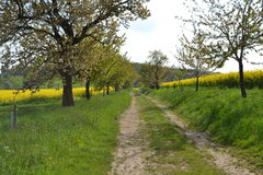 Road in rapeseed fields with flowering appletrees Stock Photo