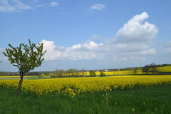 Road in rapeseed fields with flowering appletrees Stock Photography