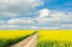 Road through the raps field in a sunny day royalty free stock photo