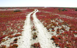 Road through the red vegetation. Stock Photography