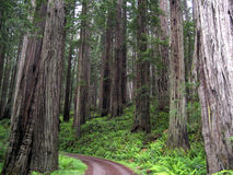 Road Through the Redwoods Royalty Free Stock Photo