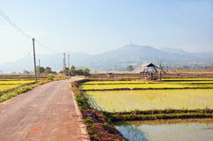 The road in a rice farm. The road  in a rice farm with mountain background ,north of Thailand Royalty Free Stock Photos