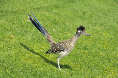 Road Runner Stock Photography