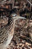 Road Runner. In profile at sunrise Royalty Free Stock Images
