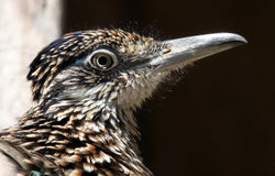 Road Runner. Close Up Profile Portrait Of Road Runner Bird royalty free stock image