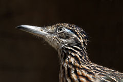 Road Runner. Close Up Profile Portrait Of Road Runner Bird On Dark Background royalty free stock images