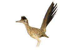Road Runner. Isolated view of Road Runner Bird stock photo