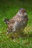 Road runner. A road runner bird on grass royalty free stock image