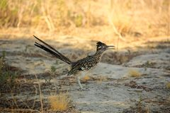 Road runner bird Chaparral. Tan and black roadrunner bird with long tail and sharp long beak stands in the desert of Palm Desert California USA royalty free stock photo