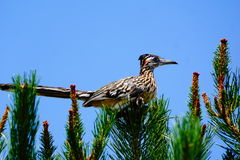 Road Runner bird. A picture of a Road Runner in a tree royalty free stock photos