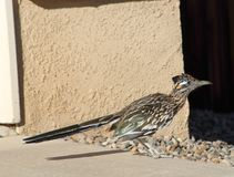 Road Runner bird walking around a new mexico abq neighborhood during a hot summer day. Road Runner bird walking around a new mexico albuquerque neighborhood in a royalty free stock images