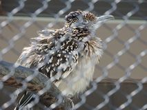 Road runner Royalty Free Stock Photography