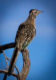 Road Runner on Branch. Road Runner Bird on Branch with Blue Sky Background stock images