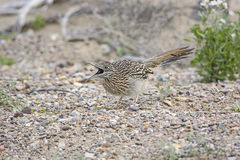 Road Runner Catching a Grasshopper in its mouth. Stock Image