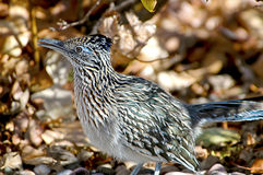 Road Runner. Closeup of a Road Runner in New Mexico royalty free stock photos