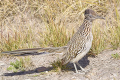 Road Runner in the Desert Stock Image