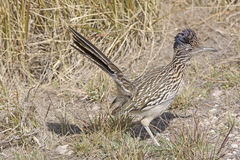 Road Runner in the Grasslands Royalty Free Stock Image