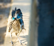 Road Runner Holding Brilliant Blue Lizard in Beak. A Roadrunner stands it`s ground with a stunned Desert Spiny Lizard hanging from it`s beak. The lizard has and Royalty Free Stock Photos