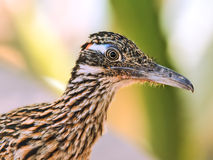 Road Runner Portrait Stock Photo