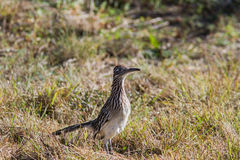 Road Runner. On side of road looking for an easy meal royalty free stock image