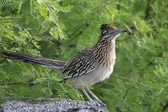 Road Runner Standing on a Rock Stock Photo
