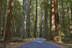 Road running through a redwood grove in California Royalty Free Stock Photo