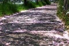 Road of sakura. Photo was taken in Muroran of hokkaido stock images