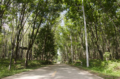 Road with seringueira or rubber tree plantation tunnel Royalty Free Stock Photography